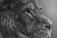 Mane Man - Male lion
