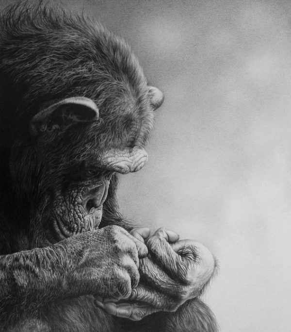 Chimp, pencil drawing, monkey, julie rhodes, ape, wildlife artist, wildlife art