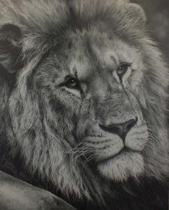 Original drawings wildlife art male lion pencil drawing, Julie RHODES