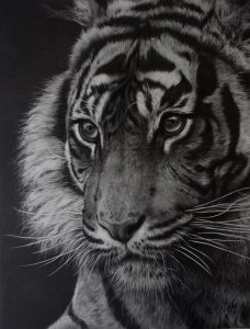 wildlife art by JKulie Rhodes tiger pencil drawing