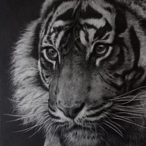 wildlife art by JKulie Rhodes tiger pencil drawing