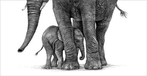 baby elephant, drawing, pencil, print, fine art, wildlife art, Julie Rhodes