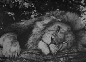 Wildlife art by Julie Rhodes male lion drawing