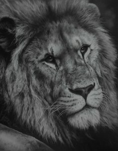 Wildlife art male lion pencil drawing fine art by Julie Rhodes