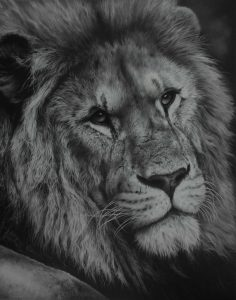 Male lion pencil drawing art by Julie Rhodes artist wildlife