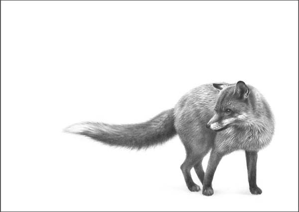 fox drawing art print