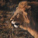 Male lion pastel colour drawing