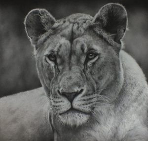 Lion pencil drawing by Julie Rhodes