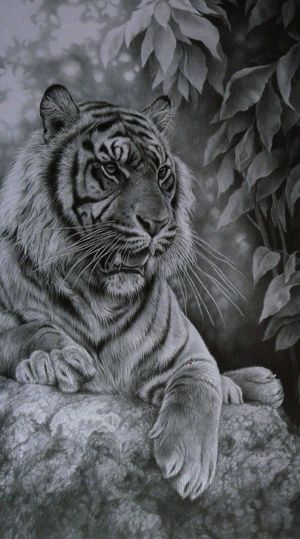 Tiger drawing in pencil by Julie Rhodes