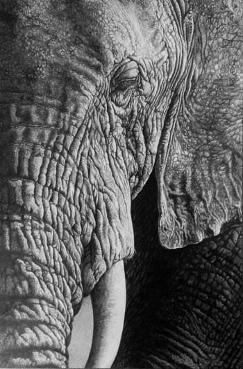 elephant head pencil drawing close up in graphoite pencil drawing by Julie Rhodes