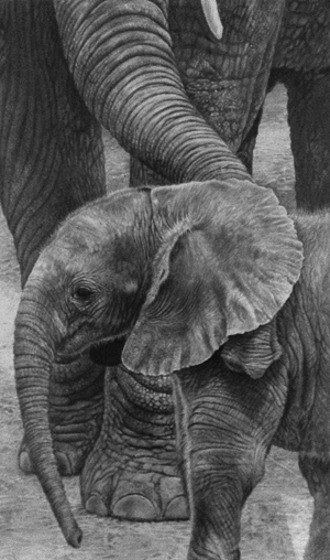 elephants pencil drawing baby and mum by Julie Rhodes