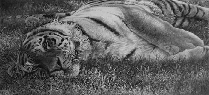 tiger sleeping pencil drawing wildlife art by Julie Rhodes