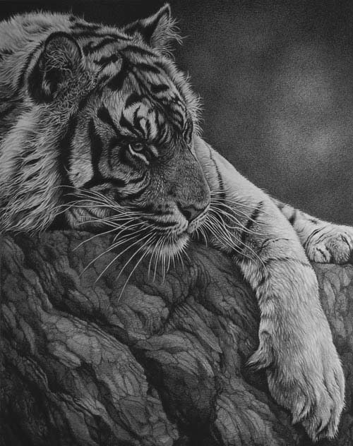 graphote tiger line drawing by Julie Rhodes wildlife artist