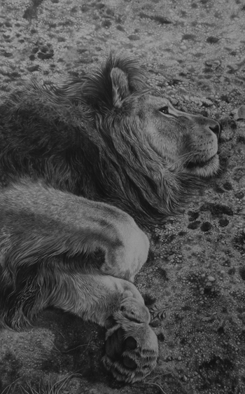 male lion sleeping pencil drawing by Julie Rhodes