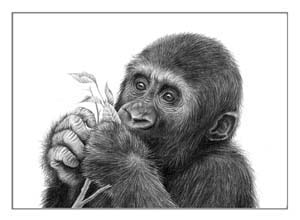 baby gorilla drawing in pencil by wildlife art Julie Rhodes