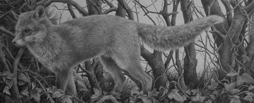 fox drawing in pencil y Julie Rhodes wildlife artist