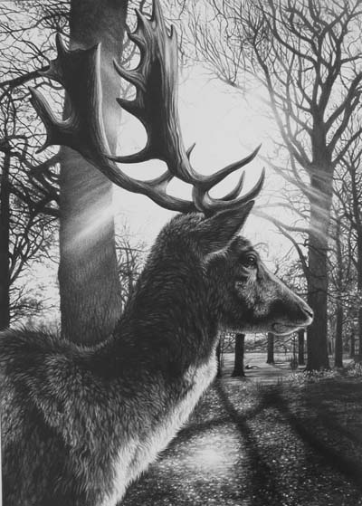 Stah deer pencil drawing by Julie Rhodes