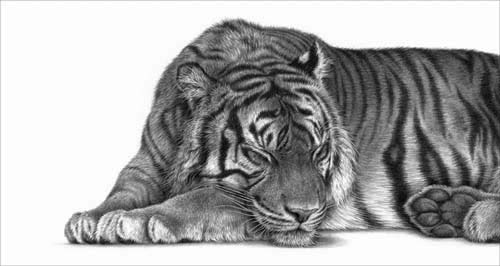 tiger asleep sleeping pencil drawing by y Julie Rhodes wildlife artist