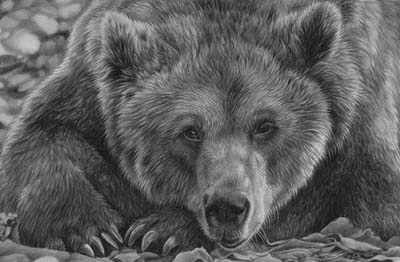 Bear grizzly pencil drawing y Julie Rhodes wildlife artist