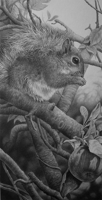 grey squirrel pencil drawing in graphite by Julie Rhodes