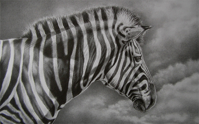 zebra pencil drawing y Julie Rhodes wildlife artist