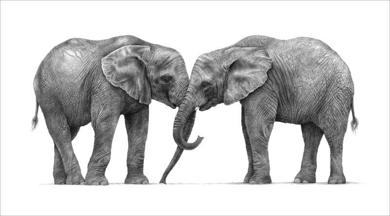 elephants pencil graphite drawing by Julie Rhodes wildlife artist
