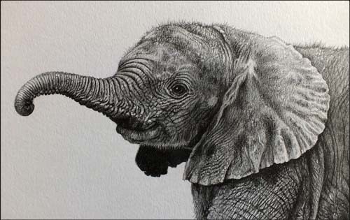 baby elephant drawing in pencil, line drawing y Julie Rhodes wildlife artist