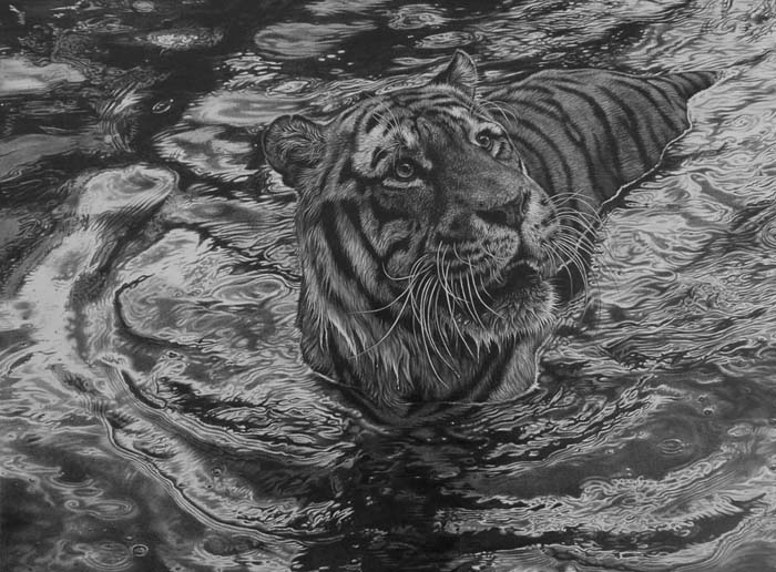 tiger in water pencil art by Julie Rhodes realistic drawings