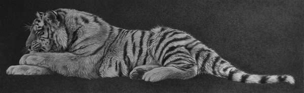 Tiger lying down pencil drawing art y Julie Rhodes wildlife artist