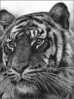 hyper realism pencil drawing tiger