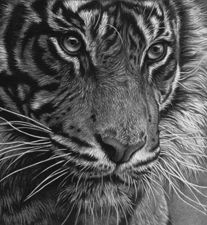 tiger head study detailed realism y Julie Rhodes wildlife artist
