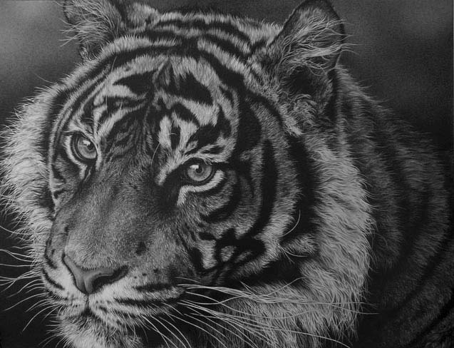 large life sized tiger drawing y Julie Rhodes wildlife artist