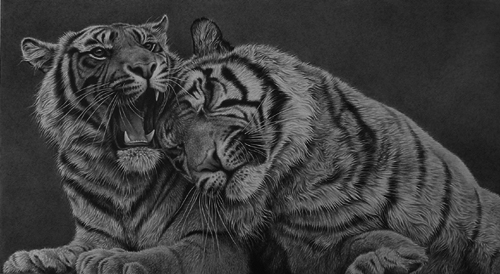 tigers together pencil drawing hyperrealism y Julie Rhodes wildlife artist