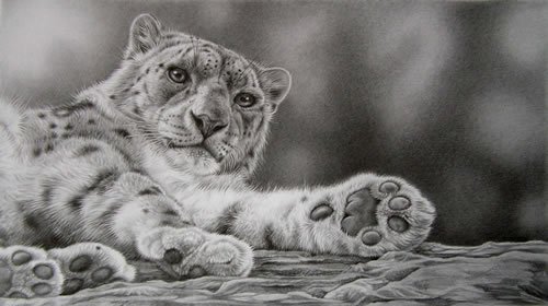 snow leoppard pencil drawing, graphite, wildlife art by Julie Rhodes