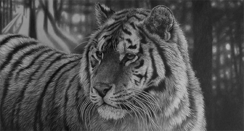 siberian tiger by Julie Rhodes wildlief art