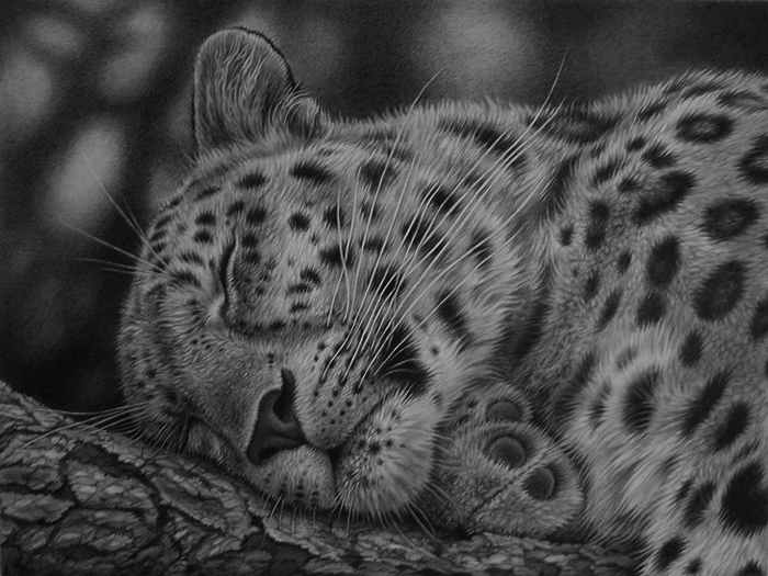 graphiote draqwing of a leoprad in black and white by Julie Rhodes wildlife art