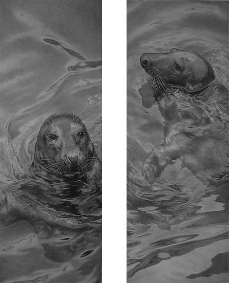 Grey seals in water by Julie rhodes pencil drawing wildlife