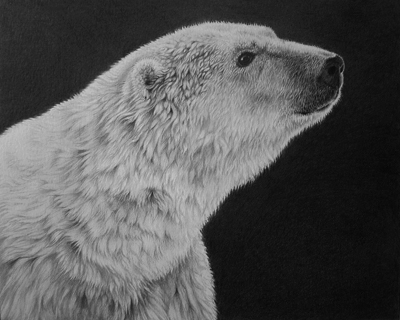 Polar bear pencil drawing by Julie Rhodes wildlife artist, black and white