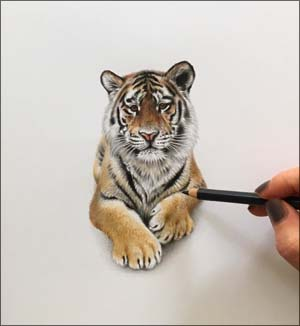 Tiger cub colour pencil drawing art by Julie Rhodes Wildlife artiist