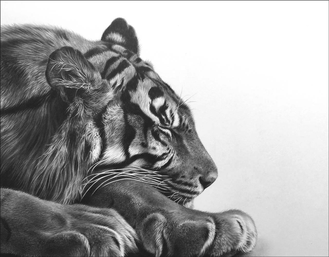 Sleeping tiger art drawing in pencil wildlife
