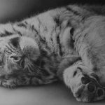 tiger cub sleeping lying down asleep pencil drawing realistic