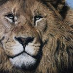 male lion pastel drawing by Julie Rhodes