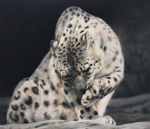 snow leopard drawing artwork by Julie rhodes in pastel