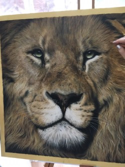 male lion art in progress drawing pastel painting, Julie Rhodes