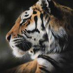 tiger pastel pencil drawing realism art