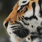 tiger pastel pencil drawing in colour by Julie Rhodes