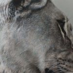 painting in detail of lioness