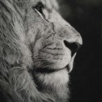 male lion black and white pastel drawing art