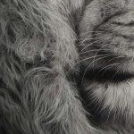 detailed realism drawing lion mane fur
