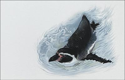 swimming penguin artwork drawing sketch pastel by Julie Rhodes